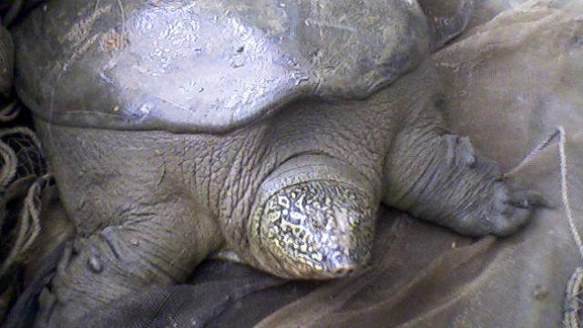 A Yangtze giant softshell turtle. Photo via Wikimedia Commons