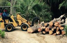 Rare Torrey pine will become fodder for gift shop at San Diego Botanical Gardens.  Image via the gardens