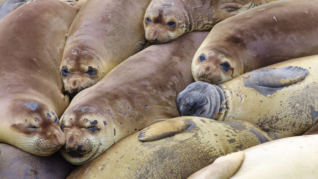 Elephant seals. Photo courtesy of Wikimedia Commons.