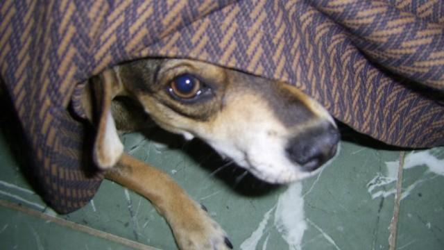 A frightened dog. Photo LuKaS Cuba via Wikimedia Commons
