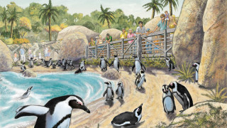 An artist's rendering of Penguin Beach in the Africa Rocks exhibit. Courtesy of San Diego Zoo