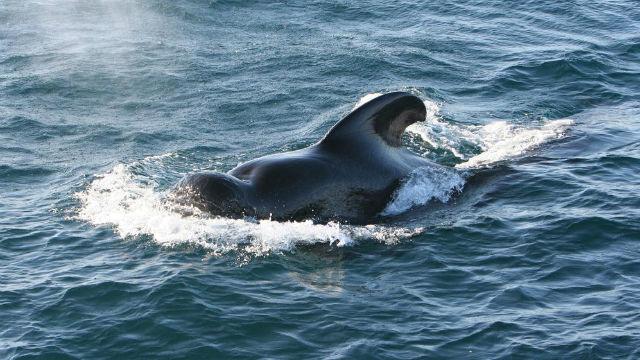 A pilot whale off Mexico. Photo by Velo Steve via Wikimedia Commons