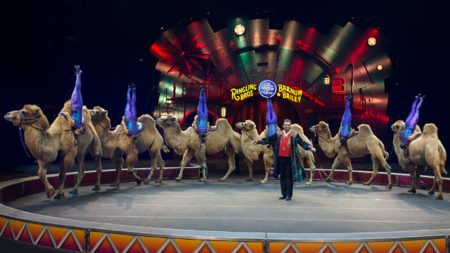 The Caravan of Camels at the Ringling Bros. and Barnum & Baily circus. Courtesy of the circus
