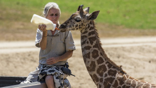 Eileen Neff, a senior mammal keeper at the San Diego Zoo Safari Park, feeds a bottle to Congo, a male giraffe calf in the East Africa habitat on Thursday morning, Aug. 27. Photo credit: Ken Bohn, San Diego Zoo Safari Park.