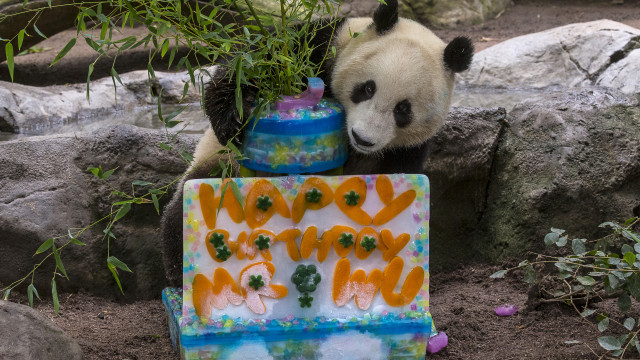 Xiao Liwu (pronounced sshyaoww lee woo), a male giant panda, celebrated his third birthday today by posing with his beautiful two-tiered ice-cake.  Photo courtesy of the San Diego Zoo.