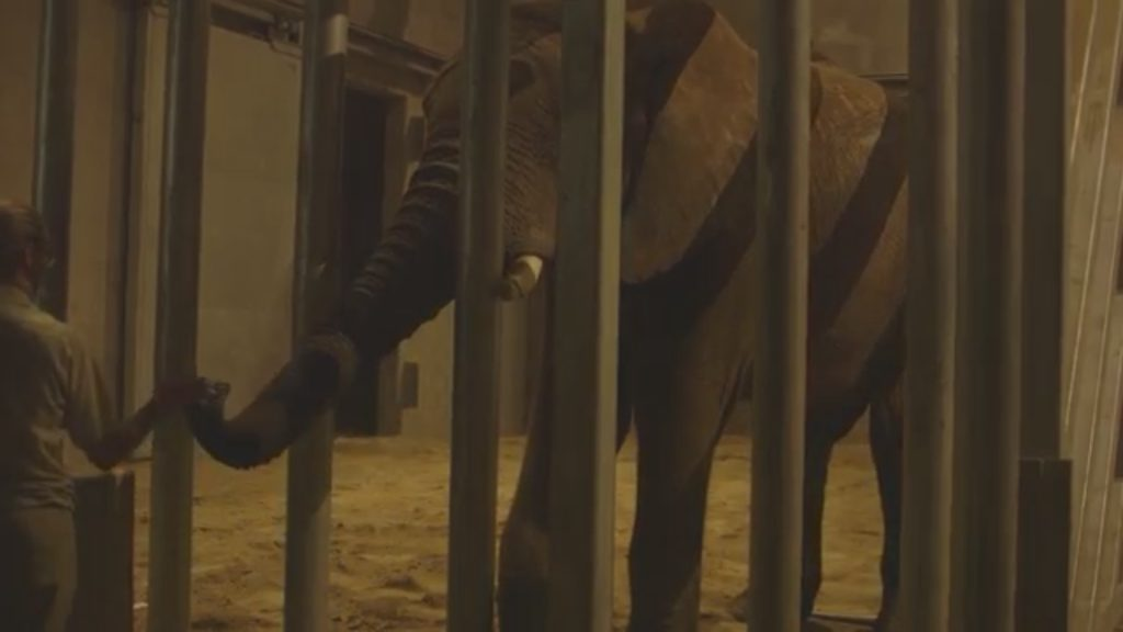 Vus'Musi, an elephant from the San Diego Zoo Safari Park, was transferred to a zoo in Fresno to help with a breeding program. Photo courtesy of the San Diego Zoo Safari Park