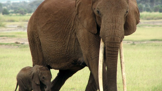 An African elephant with her calf. Photo via Wikimedia Commons