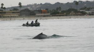 A SeaWorld rescue team attempts to disentangle a humpback whale caught in a lobster trap off La Jolla. Coast Guard photo