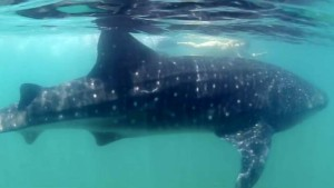 Kelly McGlothlin swims with whale shark in Eladio Arvelo video of the Sea of Cortez. Image via vimeo.com