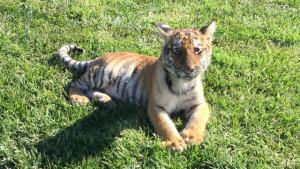Himmel the tiger cub