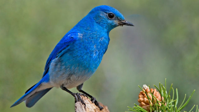The mountain bluebird is a winter visitor in San Diego. Photo by Elaine R. Wilson via Wikimedia Commons