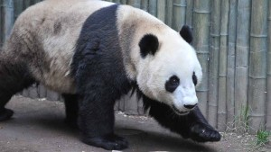 San Diego Zoo, with giant pandas like this one, has been a successful breeder of the rare species. Photo by Chris Stone