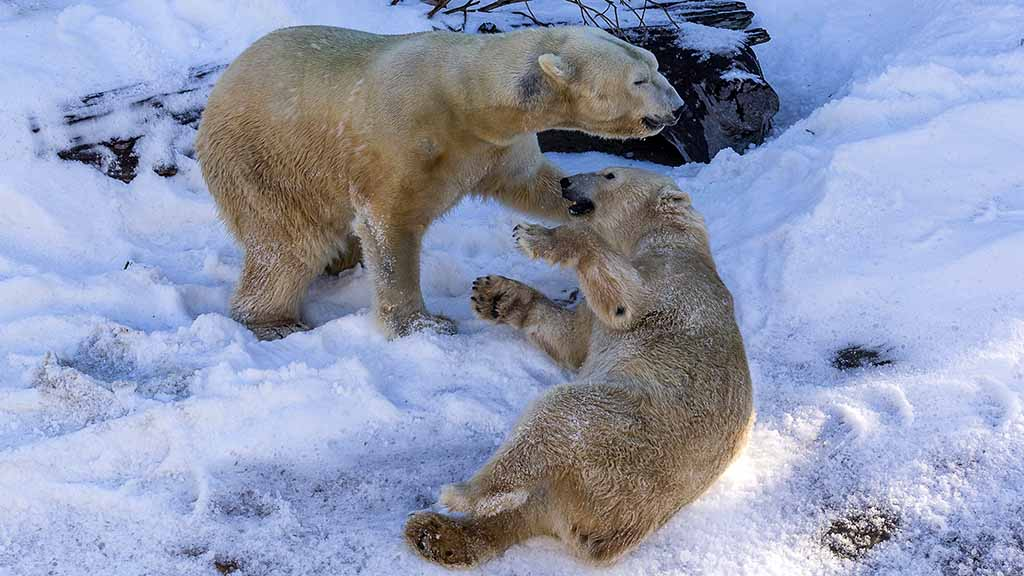 Dance Of The Polar Bear Fairies Snow Time At Zoo Times Of San Diego