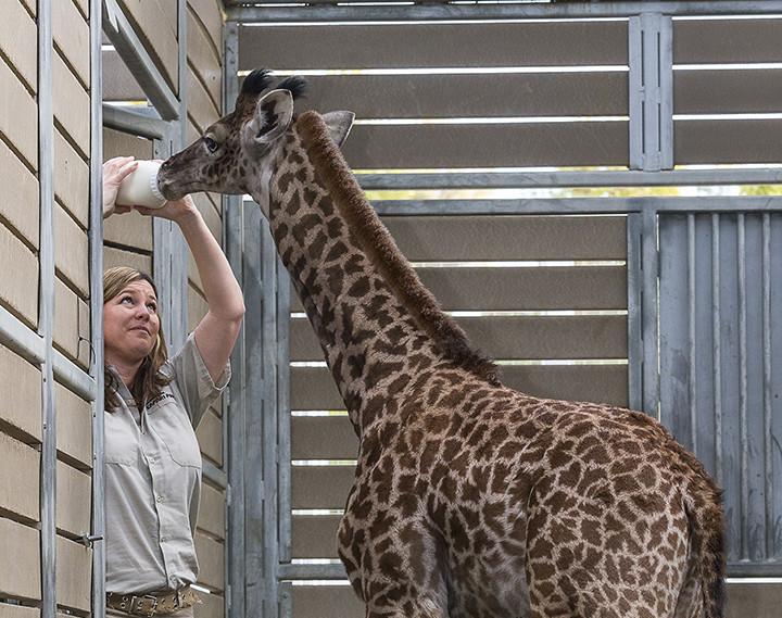 dbbce675248e0 San Diego Zoo Nurses Baby Giraffe Back to Health - Times of San Diego