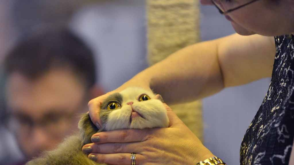 Cat Crazy? Fanciers Compete at Biggest Feline Show in