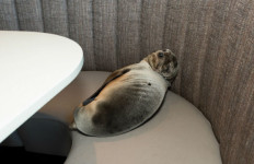 The seal lion sleeping in the Marine Room. Photo by Seaworld's Mike Aguilera via REUTERS