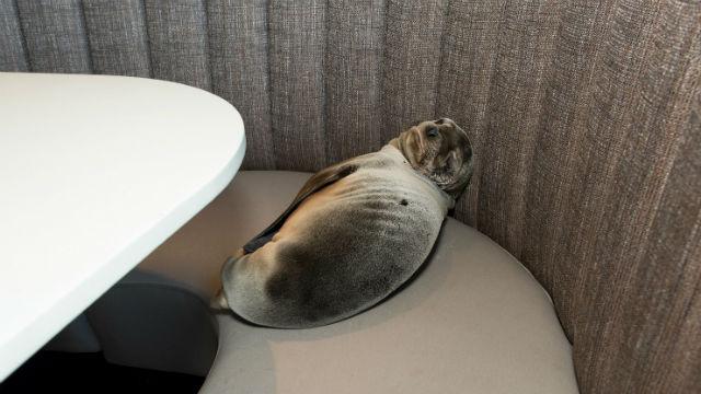 Sea Lion Found Sleeping in La Jolla\'s Iconic Marine Room - Times ...