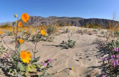 Desert sunflowers and Desert Sand Verbena bloom off Henderson Canyon Road in Borrego Springs. Photo by Chris Stone