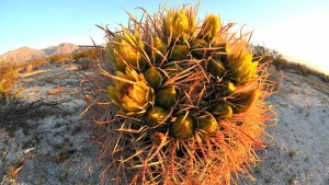 A Barrel cactus is crowned with yellow blooms in the Anza Borrego area. Photo by Chris Stone