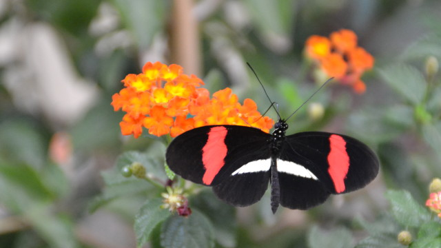 A Postman butterfly at the San Diego Zoo Safari Park's Butterfly Jungle.