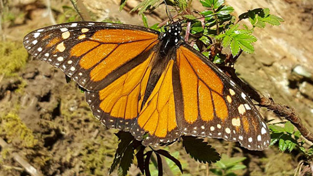 A close-up of a male monarch butterfly. Courtesy Scripps Research Institute