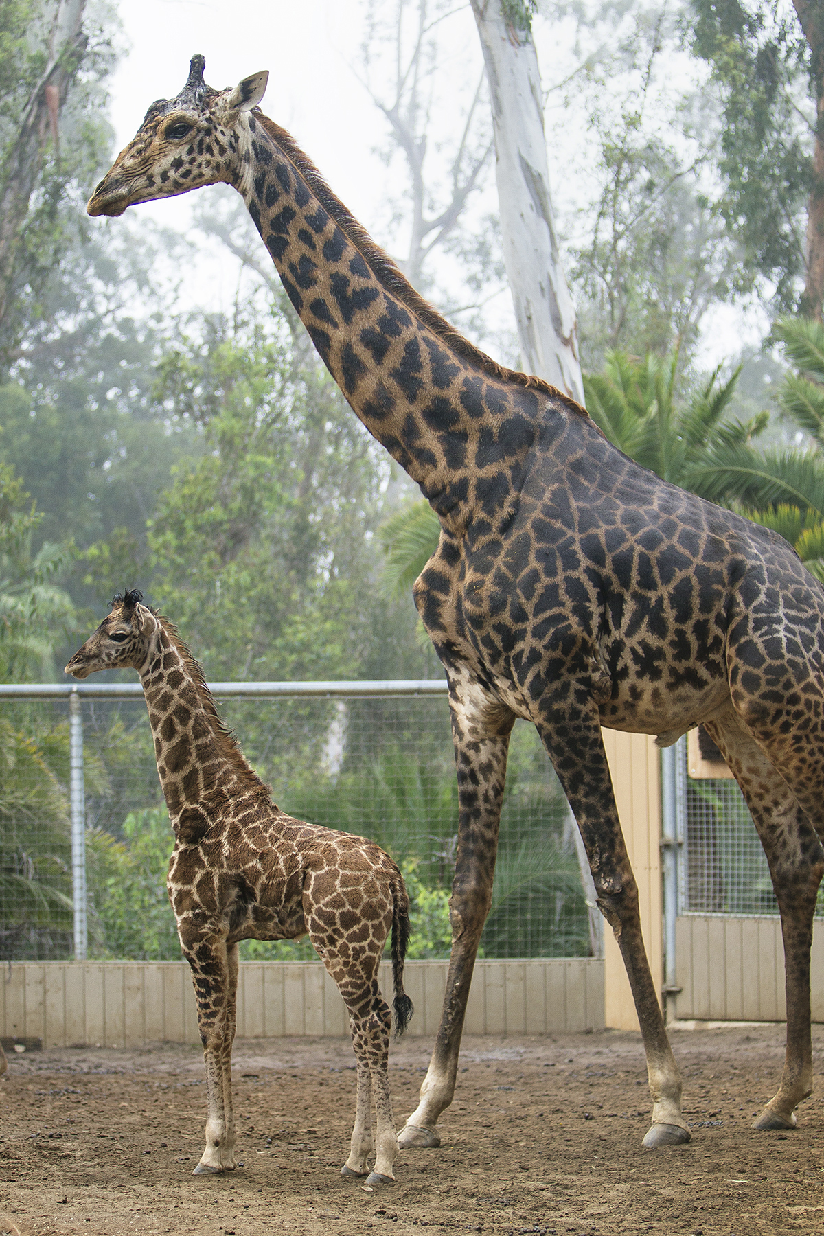 Short Giraffe At San Diego Zoo Is Rapidly Growing Times Of San Diego