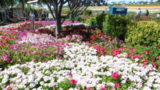 The Flower Fields at Carlsbad Ranch. Photo Credit: Fastily from Wikimedia Commons