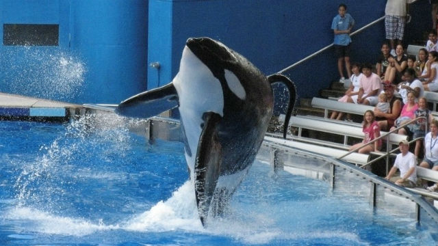 The killer whale Tilikum performs in Orlando in 2009. REUTERS / Mathieu Belanger