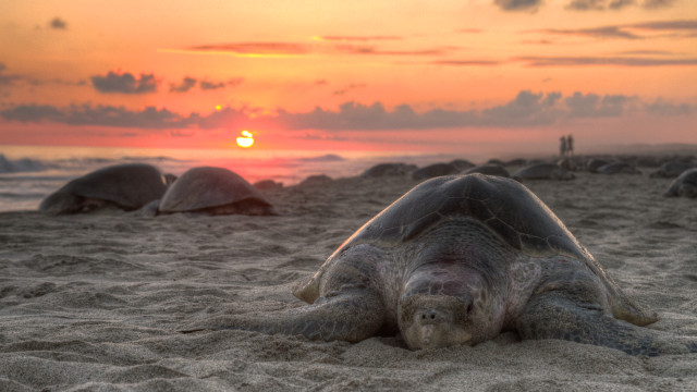 An olive ridley turtle nesting on Escobilla Beach in Mexico. Photo via Wikipedia
