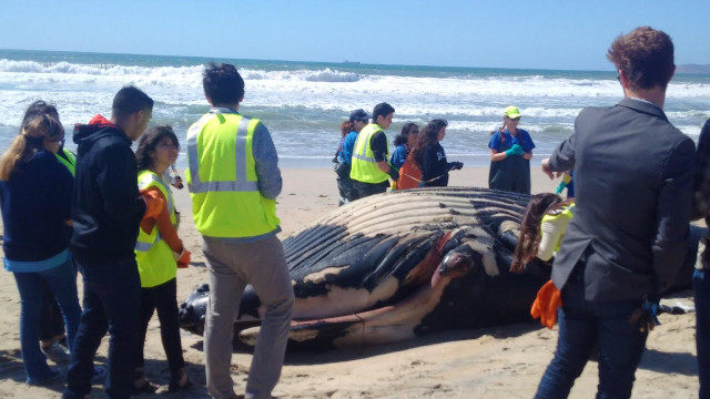Spectators look at a beached whale in Coronado, March 8, 2016. Courtesy photo