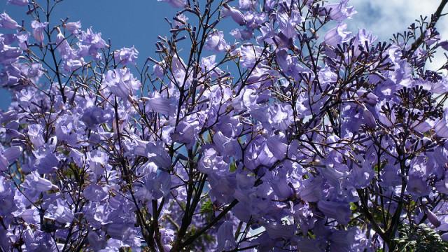 Jacaranda Tree. Photo via Wikimedia Commons.