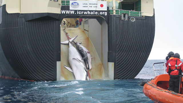 Adult and calf Minke whales are dragged aboard a Japanese whaling vessel. Australian government photo