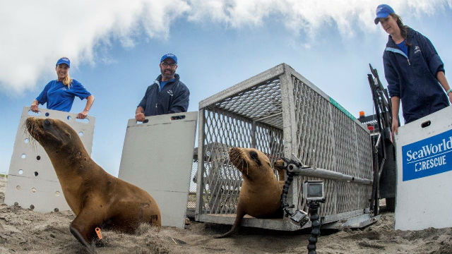 A SeaWorld team releases three rescued sea lions. Photo credit: Photo by Mike Aguilera / SeaWorld San Diego