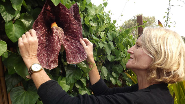 Unusual Giant Dutchman S Pipe Blooming At Botanic Garden