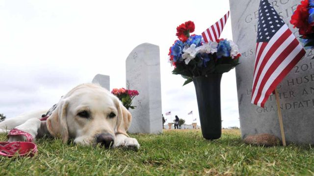 Phoebe, a 3-year-old English Labrador retriever, rests at the gravesite of one of her masters in Miramar National Cemetery. Photo by Chris Stone