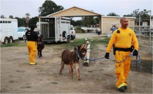 San Diego County Animal Services personnel evacuate a group of mini donkeys. Courtesy San Diego County