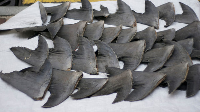 Shark fins dry on the sidewalk after removal from the sharks' bodies. Photo Credit: Flickr on Wikimedia Commons.