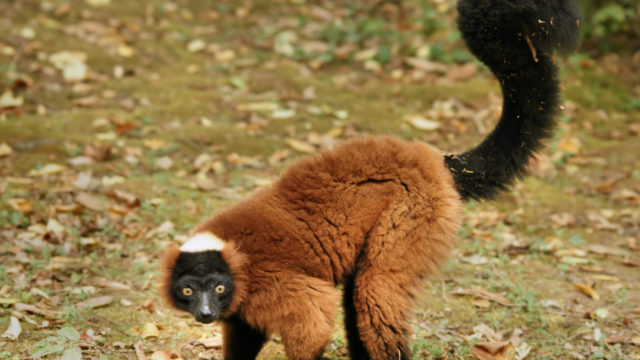 Red Ruffed Lemur. Photo via Wikipedia