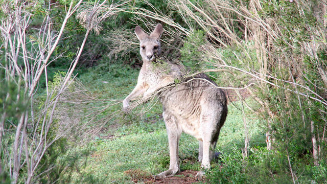 Kangaroo at Werribee Open Range Zoo. Photo Credit: Wikimedia Commons