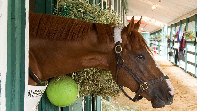 California Chrome in a his stall in 2014. Photo via Wikimedia Commons