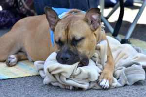 A dog appears to have fallen asleep midchew at the the Cardiff Dog Days of Summer event. Photo by Chris Stone