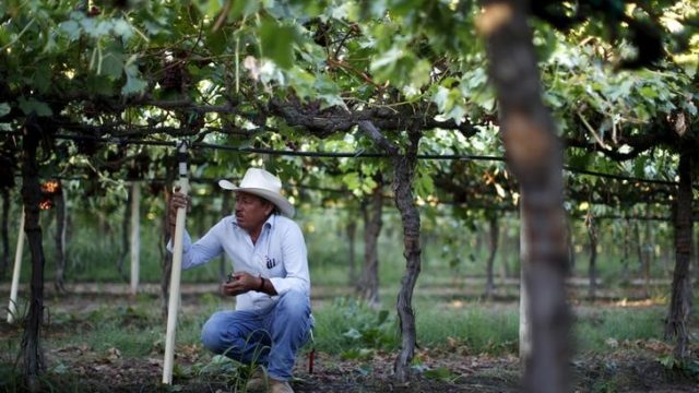 A farm worker takes a break while picking table grapes in Maricopa. REUTERS/Lucy Nicholson