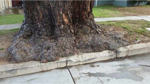 The trunk of the Torrey pine scheduled for removal. Courtesy City of San Diego