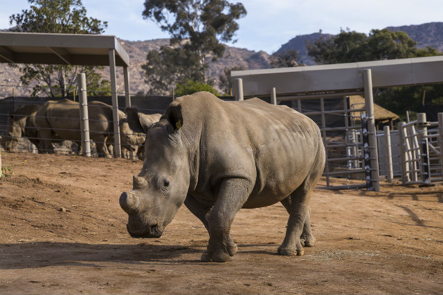 The wounded rhino at the San Diego Zoo Safari Park.
