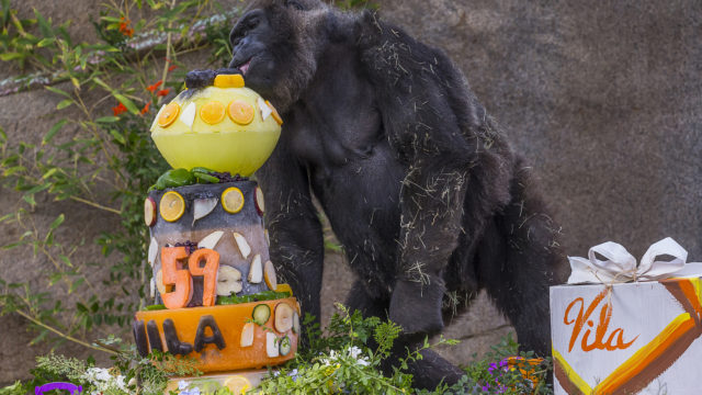 Vila (pronounced VEE-la), the third oldest gorilla in the world, marked her 59th birthday at the San Diego Zoo Safari Park by taking a large bite out of her tasty ice birthday cake during a festive party that included all nine members of her family.