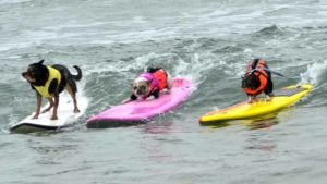 Three dogs catch the same wave at the 11th annual Surf Dog Surf-a-thon in Del Mar. Photo by Chris Stone