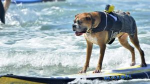 Hanzo, a boxer, took first place at the Helen Woodward Animal Center's 11th annual Surf Dog Surf-a-thon in Del Mar. Photo by Chris Stone