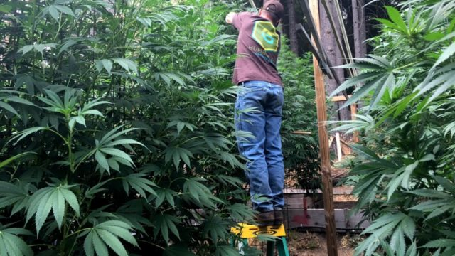 Marijuana grow operation in Humboldt County