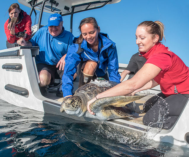 """SeaWorld San Diego staff return """"Comber"""" the rescued sea turtle to ocean."""