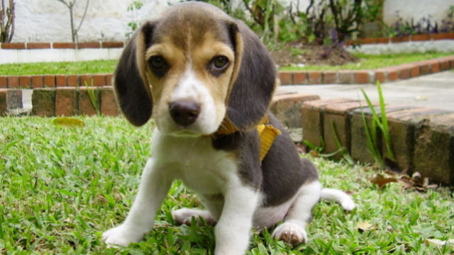 A 60-day old puppy beagle sitting on the grass. Photo Credit: Wikimedia Commons